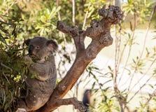 Το Koala αντέχει το cinereus Phascolarctos Στοκ εικόνες με δικαίωμα ελεύθερης χρήσης