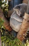 Το Koala αντέχει το cinereus Phascolarctos Στοκ εικόνα με δικαίωμα ελεύθερης χρήσης