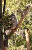 Το Koala αντέχει το cinereus Phascolarctos Στοκ Φωτογραφίες