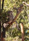 Το Koala αντέχει το cinereus Phascolarctos Στοκ φωτογραφία με δικαίωμα ελεύθερης χρήσης