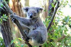 Το Koala αντέχει στοκ εικόνα