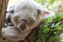 Το Koala αντέχει Στοκ φωτογραφία με δικαίωμα ελεύθερης χρήσης