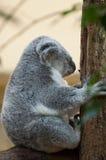 Το Koala αντέχει Στοκ Φωτογραφία