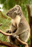 Το koala αντέχει Στοκ εικόνες με δικαίωμα ελεύθερης χρήσης