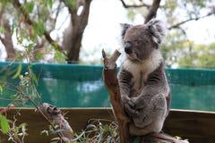 Το Koala αφορά ένα δέντρο Στοκ Εικόνα