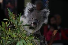 Το Koala αφορά ένα δέντρο στοκ φωτογραφία με δικαίωμα ελεύθερης χρήσης