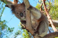 Το Koala αφορά στις άγρια περιοχές στα δέντρα ευκαλύπτων το ακρωτήριο Otway σε Βικτώρια Αυστραλία Στοκ Εικόνα
