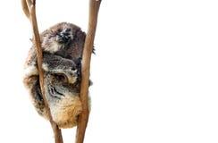 Το koala ύπνου αντέχει απομονωμένος Στοκ Εικόνες