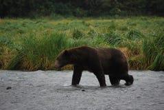 Το Kodiak αντέχει/από την Αλάσκα καφετής αντέχει στοκ φωτογραφία