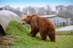 Το Kodiak αντέχει Στοκ Φωτογραφίες