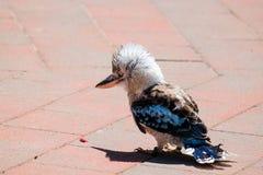 Το kookaburra γέλιου Στοκ Εικόνες