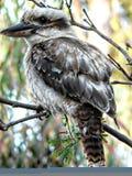 Το Kookaburra κάθεται στο παλαιό δέντρο γόμμας Στοκ Φωτογραφίες