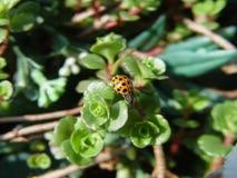 Το Ladybag σε πράσινο βγάζει φύλλα στοκ εικόνα