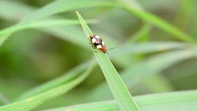 Το Ladybug είναι κατούρημα φιλμ μικρού μήκους