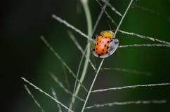 Το ladybug Στοκ Εικόνες