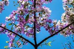 Το Lagerstroemia που ανθίζει στον κήπο Στοκ εικόνες με δικαίωμα ελεύθερης χρήσης