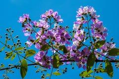 Το Lagerstroemia που ανθίζει στον κήπο Στοκ φωτογραφία με δικαίωμα ελεύθερης χρήσης