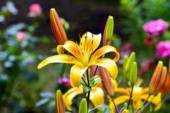 Το lancifolium ή Daylily Lilium είναι ένα ασιατικό είδος κρίνου, φυτεύεται ευρέως ως διακοσμητικός στοκ εικόνα με δικαίωμα ελεύθερης χρήσης