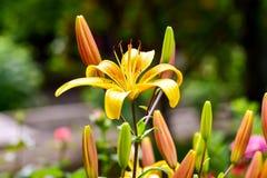 Το lancifolium ή Daylily Lilium είναι ένα ασιατικό είδος κρίνου, φυτεύεται ευρέως ως διακοσμητικός στοκ εικόνα