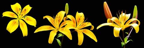 Το lancifolium ή Daylily Lilium είναι ένα ασιατικό είδος κρίνου, φυτεύεται ευρέως ως διακοσμητικός στοκ εικόνες με δικαίωμα ελεύθερης χρήσης