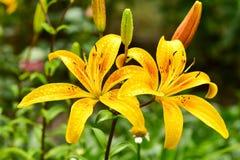 Το lancifolium ή Daylily Lilium είναι ένα ασιατικό είδος κρίνου, φυτεύεται ευρέως ως διακοσμητικός στοκ εικόνες