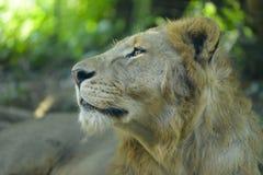 Το leo Panthera λιονταριών Στοκ Εικόνες