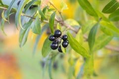 Το Ligustrum vulgare ωρίμασε τα μαύρα φρούτα μούρων, κλάδοι θάμνων με τα φύλλα, χρώματα φθινοπώρου στον ήλιο Στοκ Φωτογραφία