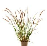 Το Liliopsida, Poaceae, ζιζάνιο ανθίζει στο λευκό, ψαλιδίζοντας την πορεία Στοκ εικόνες με δικαίωμα ελεύθερης χρήσης