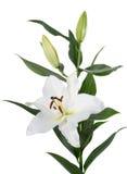 Το Lilium προσανατολίζει το λουλούδι που απομονώνεται Στοκ εικόνες με δικαίωμα ελεύθερης χρήσης