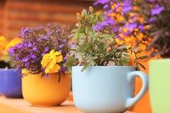 Το Lobelia και Marigolds είναι στα ζωηρόχρωμα φλυτζάνια Στοκ Φωτογραφία