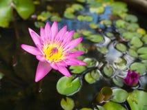 Το Lotus ανθίζει waterlily στο νερό στοκ φωτογραφία