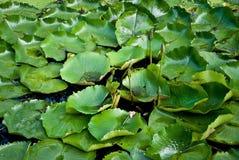 Το Lotus βγάζει φύλλα Στοκ Φωτογραφίες
