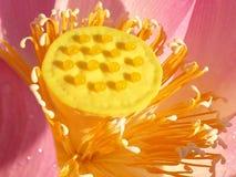 Το Lotus είναι ανθίζοντας το καλοκαίρι στοκ φωτογραφία με δικαίωμα ελεύθερης χρήσης