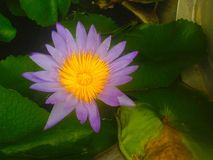 Το Lotus είναι ανθίζοντας Στοκ Εικόνα