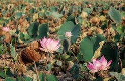 Το Lotus και ξεραίνει τα φύλλα Στοκ Εικόνες
