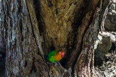 Το Lovebird φρουρεί τη φωλιά Serengeti, Τανζανία Στοκ φωτογραφία με δικαίωμα ελεύθερης χρήσης