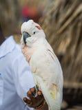 Το Macaw στην πέρκα επανδρώνει το χέρι Στοκ Εικόνες