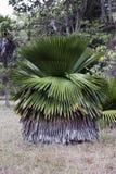 Το macroglossa Copernicia είναι ένας ενδημικός φοίνικας στην Κούβα στοκ φωτογραφία
