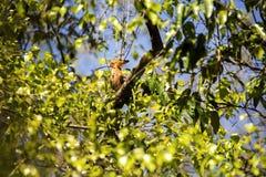 Το Madagascan hoopoe, marginata Upupa epops, είναι πολύ ενδιαφέρον πουλί, ν η επιφύλαξη Tsingy Ankarana, Μαδαγασκάρη Στοκ φωτογραφία με δικαίωμα ελεύθερης χρήσης