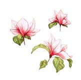 Το Magnolia απομόνωσε τα ρόδινα ανθίζοντας λουλούδια στο άσπρο υπόβαθρο Στοκ Εικόνες