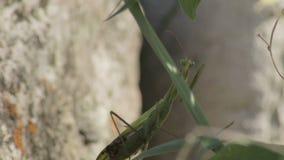Το Mantis αναρριχείται από την πέτρα στο θάμνο, κινηματογράφηση σε πρώτο πλάνο φιλμ μικρού μήκους