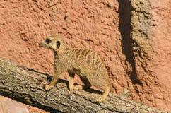 Το meerkat ή suricate στον κορμό δέντρων Στοκ Φωτογραφία