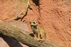 Το meerkat ή suricate στον κορμό δέντρων Στοκ εικόνα με δικαίωμα ελεύθερης χρήσης