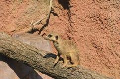 Το meerkat ή suricate στον κορμό δέντρων Στοκ Εικόνες