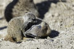 Το meerkat ή suricate το suricatta Suricata Στοκ Φωτογραφία