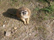Το Meerkat κοιτάζει επίμονα Στοκ Εικόνες
