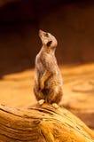 Το Meerkat στέκεται κατακόρυφα Στοκ Φωτογραφίες