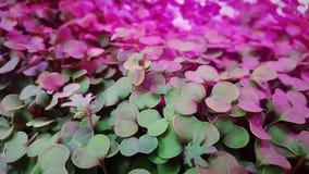 Το Microgreens αυξάνεται μέσα τα φω'τα στοκ εικόνα με δικαίωμα ελεύθερης χρήσης
