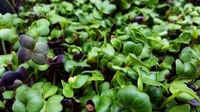 Το Microgreens αυξάνεται μέσα τα φω'τα στοκ φωτογραφίες