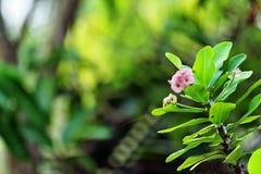 Το milii ευφορβίας αμυδρό αυξήθηκε λουλούδια χρώματος Στοκ φωτογραφία με δικαίωμα ελεύθερης χρήσης
